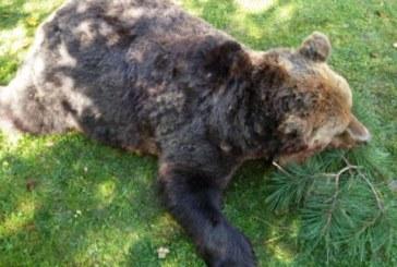 Убитата от бракониери мечка застреляна с куршум в сърцето