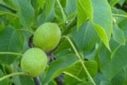 Листата на ореха са дар Божи: Особено през май и юни лечебната им мощ е огромна