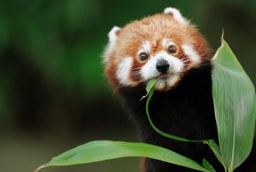 Червена панда се роди в германска зоологическа градина