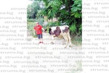 Фермер дари 200-кг бик за събора в Големо село, нагизди го с венец от цветя и го заведе пред храма