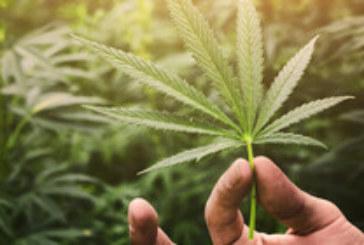Нива с марихуана цъфна край Капитан Димитриево