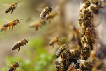 Агресивен облак от пчели изпратиха двама туристи в болница