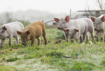 Дезинфекция след умъртвяване на прасетата край Созопол