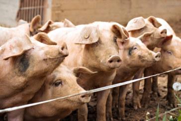 Aфриканска чума в нова ферма с 30 000 свине в Русенско