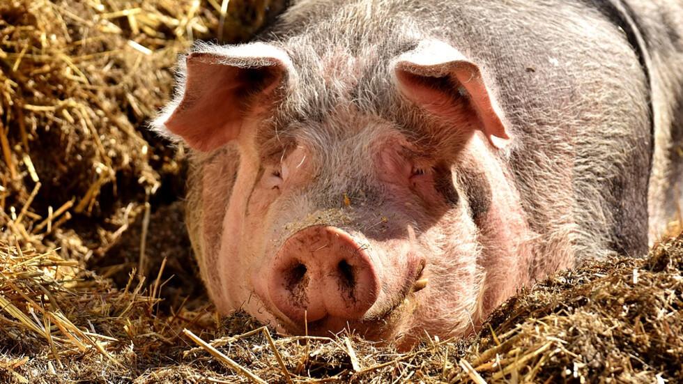 Спират проверките в свиневъдните стопанства в цялата страна