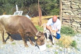 ЖИВОТЪТ ПРОДЪЛЖАВА! Световноизвестната кюстендилска крава Пенка роди, кръстиха телето Джон, на британския евродепутат, който я спаси