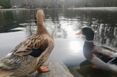 """Езерото в парк """"Бачиново"""" с нови обитатели"""