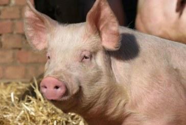 Областната епизоотична комисия в Кюстендил с извънредни мерки срещу африканската чума по свинете