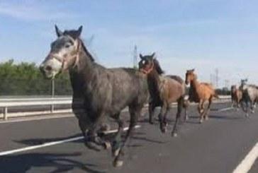 Стадо коне на пътя Кюстендил – София едва не предизвика ПТП