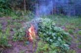 Удар на полицията! Унищожиха половин тон канабис в Петричко