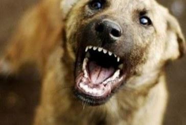Изведено на разходка без каишка и намордник едро куче нахапа 5-г. момче в Сандански