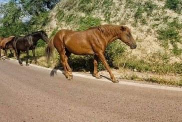 Полицаи, служители на общината и ОДБХ в акция, арестуваха безстопанствени коне край пътя Кюстендил – София