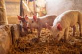 Нова ферма в Силистра е засегната от африканска чума