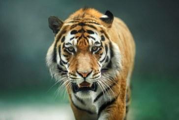 Тигър нападна двегодишно дете