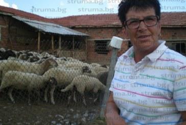 В кюстендилското село Коняво добиха по 200 кг лимец от декар, няма къде да го предадат