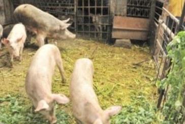 Нова положителна проба за чума по свинете в Смолянско