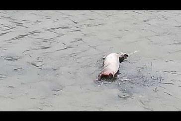 Паника в Кресна! Откриха труп на прасе в река Струма
