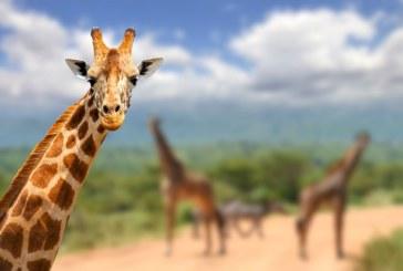 Нафиркан мъж язди жираф в зоопарк