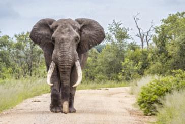 Разхождащ се по улиците слон изплаши жители на село в Беларус