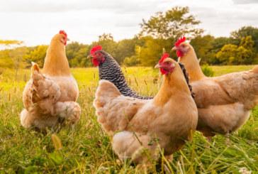 Започват масови проверки в птицефермите заради риск от инфлуенца