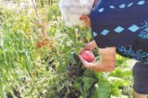 79 г. баба Лалка отгледа в градината домати по 900 грама единия, тиквите стигат до 60 кг