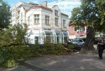 Бурен вятър събори кестеново дърво и нарани млада кюстендилка