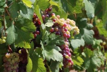 Какви са ползите от редовното ядене на грозде
