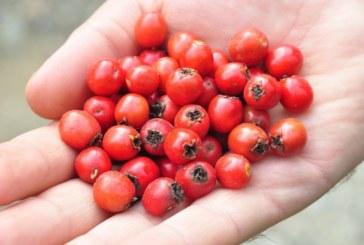 Ползите от консумацията на червени боровинки