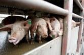 Започна изплащането по втория транш на стопаните в Пернишко за закланите прасета
