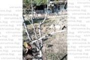 Круша цъфна през есента в имота на Красимир Влахов в с. Бистрица
