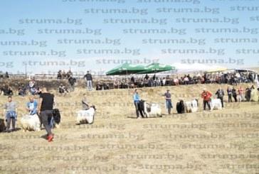 Животновъдите от Разлог и Банско обраха наградите на изложението за български породи животни, популярният Мимо с четири първи места с дългокосмести кози