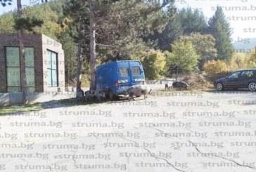 Стадо прасета на Райо Чората стреснаха шофьорите по пътя за с. Бистрица