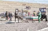 Хиляди се насладиха на битката между тежковозни коне в Разлог