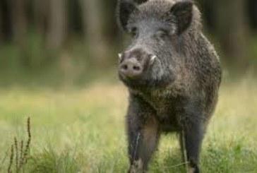 Нови огнища на африканска чума при диви свине в ЮЗДП