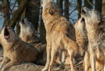 Туристи оцеляха по чудо след нападение от вълци