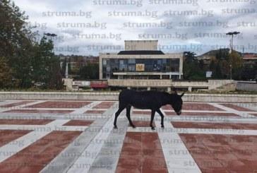 Разхождащо се из центъра на Благоевград магаре символично отбяляза времето на безвластие