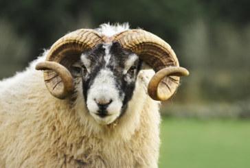 Пастир почина след нападение от овен