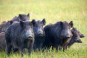 Два случая на африканска чума по свинете в Разградско