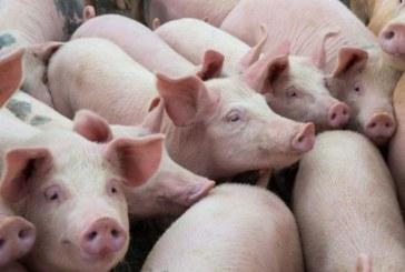 Селски кметове в готовност! Напрежение сред стопаните заради клането на прасетата
