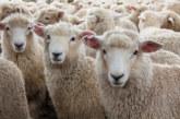 Настаниха в приют 180 овце, оцелели след корабокрушение в Румъния