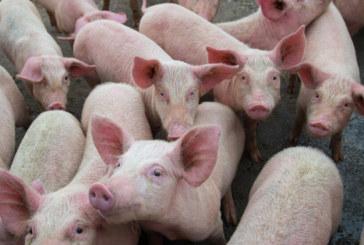 Отпада забраната за движение на прасета и месо в 39 ферми и 66 кланици у нас