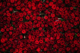 Турция изнася 60 милиона рози за Свети Валентин
