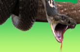 Мъж спаси бременната си съседка от 4-метрова кобра
