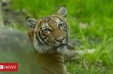 Първи случай на COVID-19 при животно! Тигър даде положителна проба