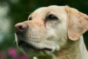 Великобритания обучава кучета да разпознават заразени с коронавирус