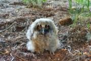 Спасиха малка ушата сова, паднала от гнездо в центъра на Перник