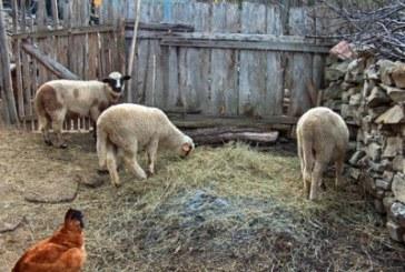 Задигнаха агнета от кошара в благоевградско село