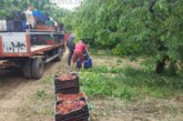 Прекупвачи изкупуват черешите в Бобовдолско направо от масивите по 2 лв./кг