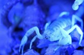 Отрова на скорпион може да стане лекарство за рак