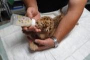 Лъвчетата от благоевградския зоопарк наддадоха по 200 грама, хранят ги със специално мляко за котки